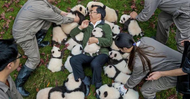 Panda conservation, papa panda, cute panda, panda, panda in forest, playing with panda, save panda